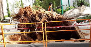 העץ שקרס היום | צילום: ענת חיימוביץ אבישר