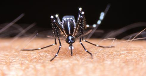 מסוק זעיר נטול מוסר. יתוש הטיגריס האסייתי | צילום: שאטרסטוק